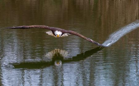Eagle on the Youghiogheny